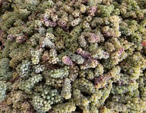 Grape must for sale buy wine grapes direct to you. California wine grapes for sale for home winemakers for brewing and wine making. Buy online